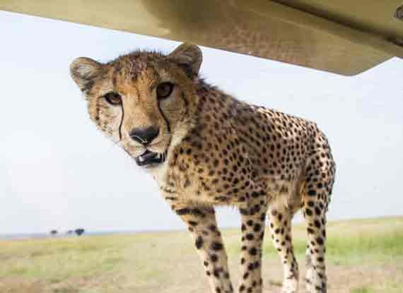 非洲小獵豹跳上車前蓋溫情撫摸遊客