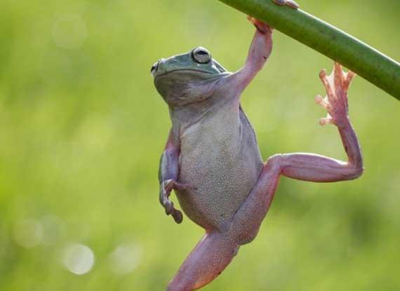 """树蛙抓树枝做""""引体向上"""""""