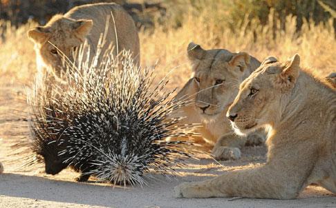 非洲小狮子欲吃豪猪 被利刺刺穿鼻子图片