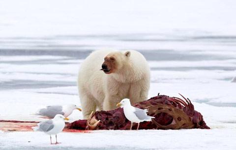 """北极熊撕咬海象尸体变成红脸""""关公"""""""
