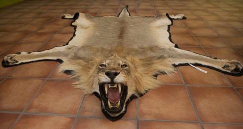 非洲血腥动物标本加工:场面触目惊心