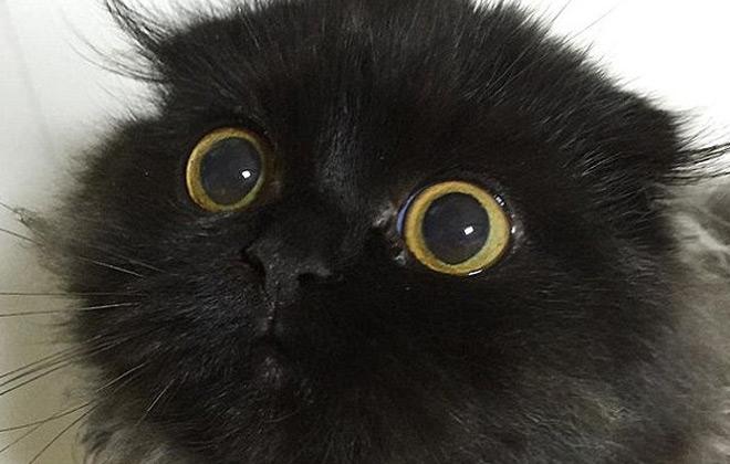 最萌折耳猫:一双大眼似钮扣 走红网络