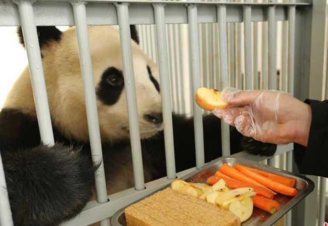 江蘇南山竹海大熊貓享豐盛年夜飯快樂過大年