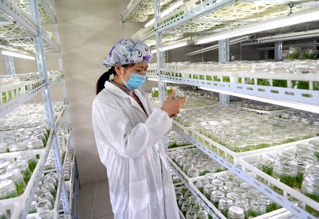 江蘇海安:大學生種植非洲菊成致富能手