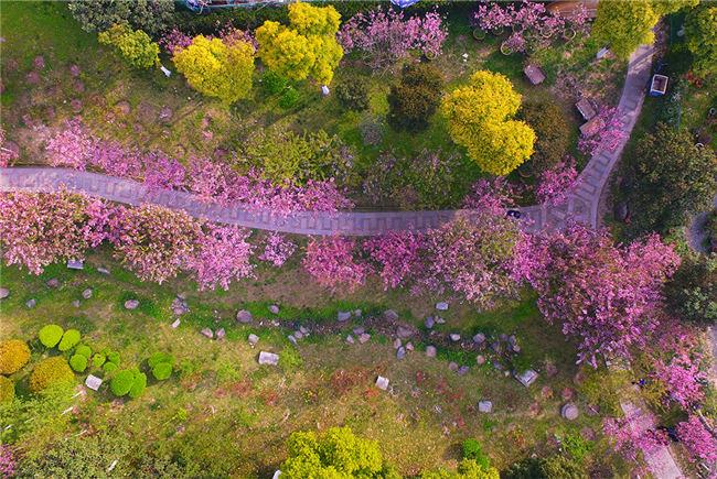 航拍南京莫愁湖公園 滿園海棠花開風鈴響叮當