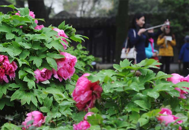江蘇:雨潤牡丹更嬌美