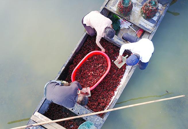 泗洪六月秧綠龍蝦肥