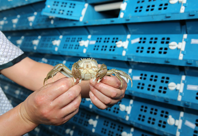 """江苏海安:螃蟹住在""""公寓里"""""""