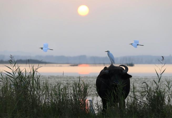 牛鹭成群生态美