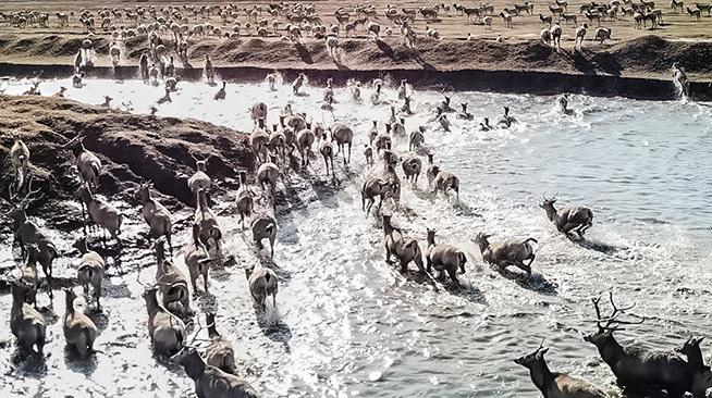 """航拍世界最大麋鹿群""""群鹿争渡"""""""