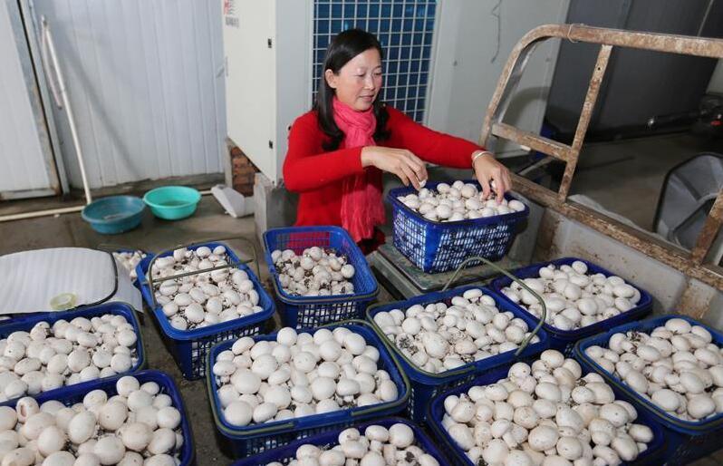 江苏海安:小蘑菇种出大效益