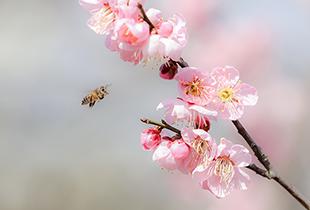 春意濃 航拍南京梅花山
