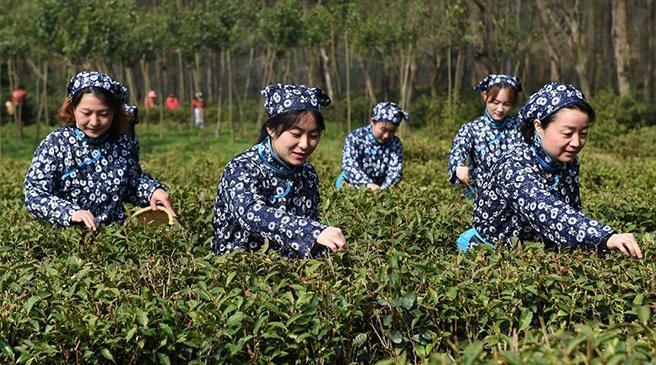 南京钟山雨花茶春茶开采