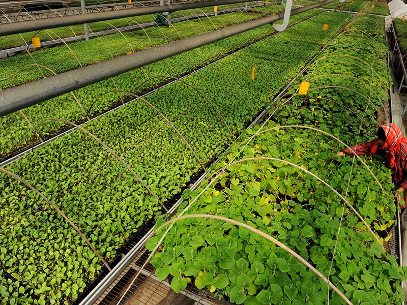 中藝農業生態園基地培植的各類蔬菜苗床