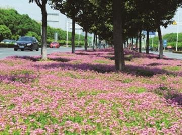 青洋路中分带:三叶草繁花如毯