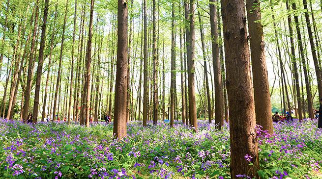 """二月兰:开在春天的""""和平紫"""""""
