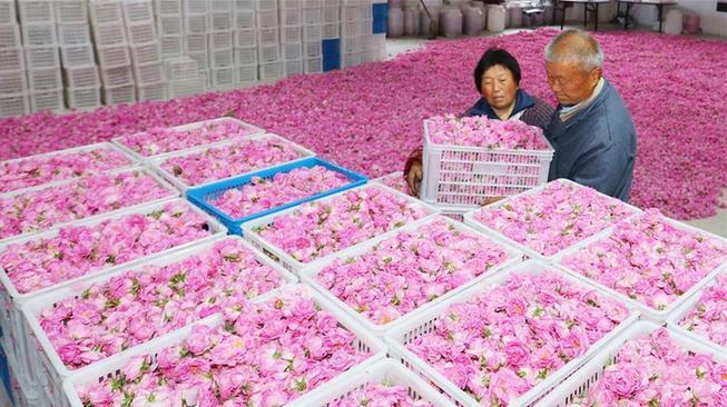 江苏海安:玫瑰香溢致富路
