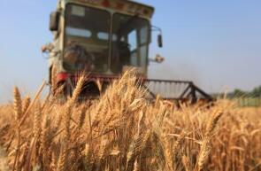 糧農喜獲豐收 徐州市賈汪新小麥開秤收購