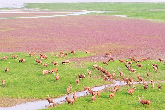 航拍江苏大丰麋鹿保护区 遥见麋鹿在汀洲