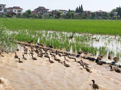 揚州因地制宜推行稻田多種共養模式 實現經濟生態雙豐收