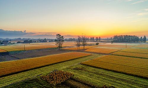金秋清晨雲蒸霞蔚 稻田深處蟲草鳴