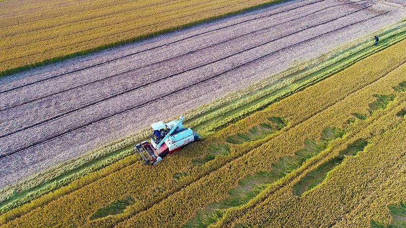 晚稻收割正當時