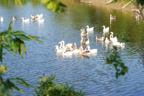 休閒山莊內鵝鴨競自由