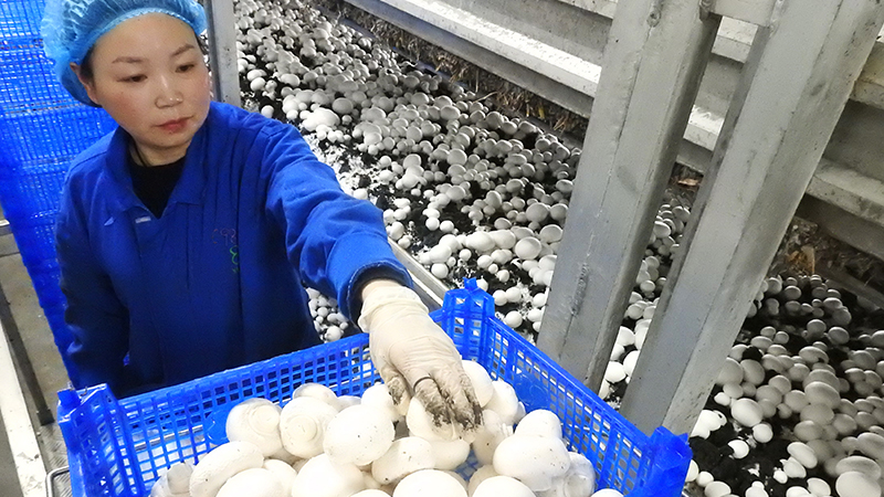 江苏连云港:小蘑菇成为致富大产业