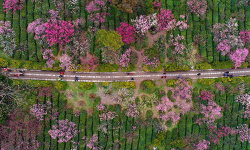 獨步早春 航拍南京梅花山