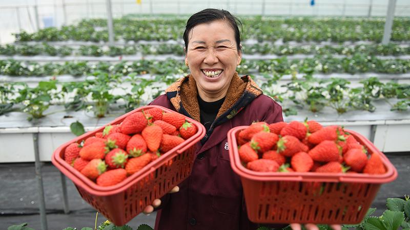 """江蘇句容:草莓成為農民致富""""金果果"""""""