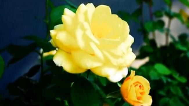 永遠的辛德貝格玫瑰,在這裏盛開