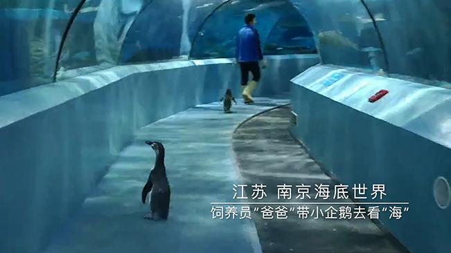 """飼養員""""爸爸""""帶小企鵝去看""""海"""""""