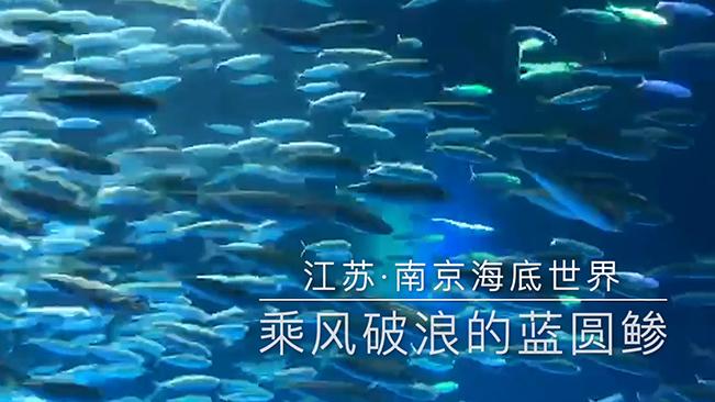 """乘風破浪的藍圓鲹!南京海底世界上演銀魚""""風暴秀"""""""