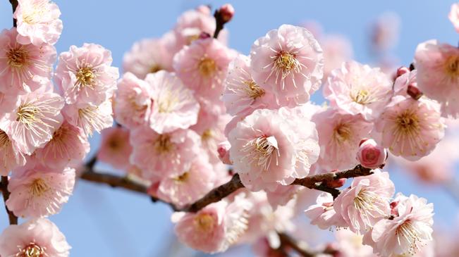 擁抱春天!來梅花山賞梅