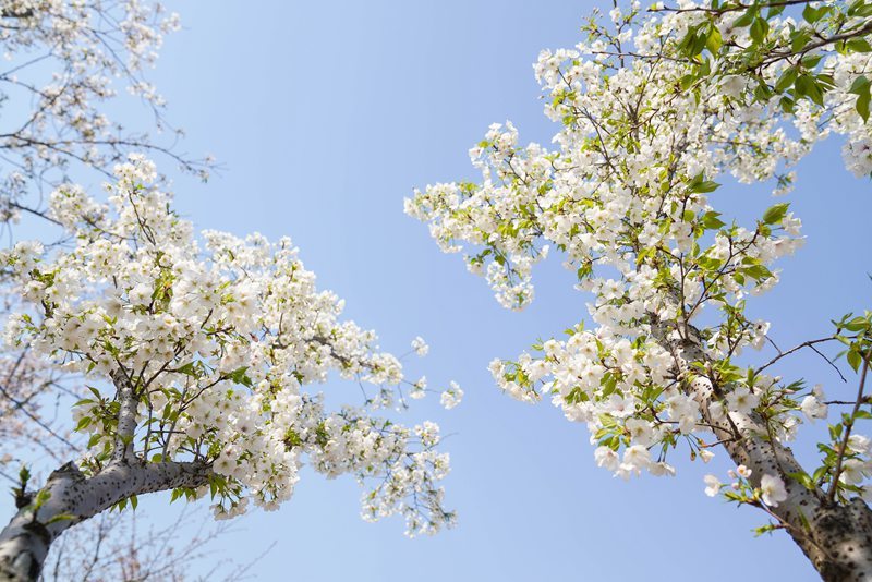 櫻花綻放 共赴一場與春天的約會