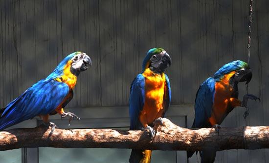 苏州动物园首次成功繁殖小琉璃金刚鹦鹉