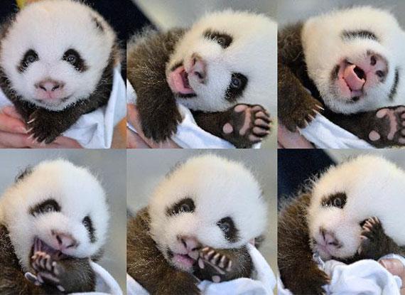 亚特兰大新生大熊猫宝宝露真容 可爱极了!