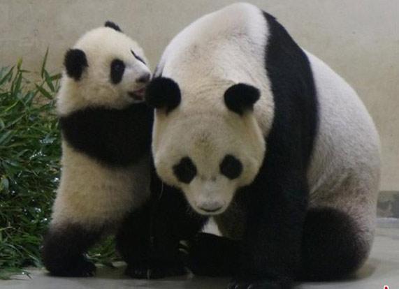 """大熊猫""""圆仔""""今见客 与妈妈说悄悄话萌照曝光"""