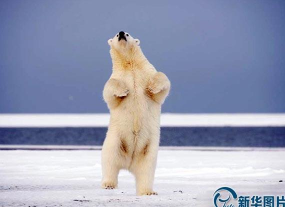 阿拉斯加北極熊攜夥伴兒跳交誼舞
